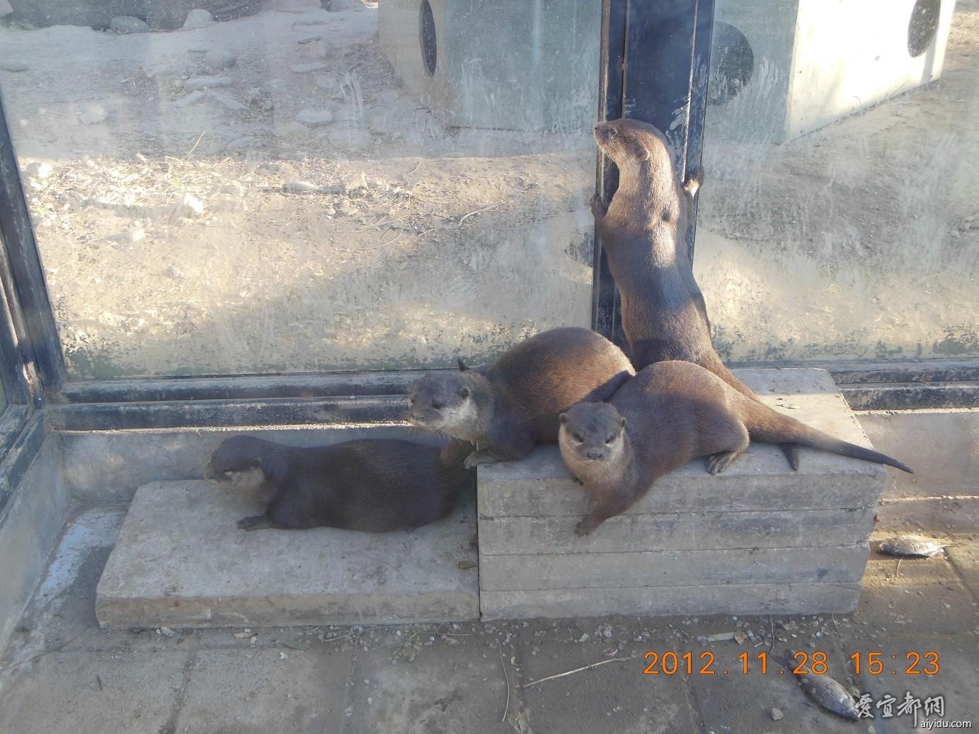 北京动物园——水獭
