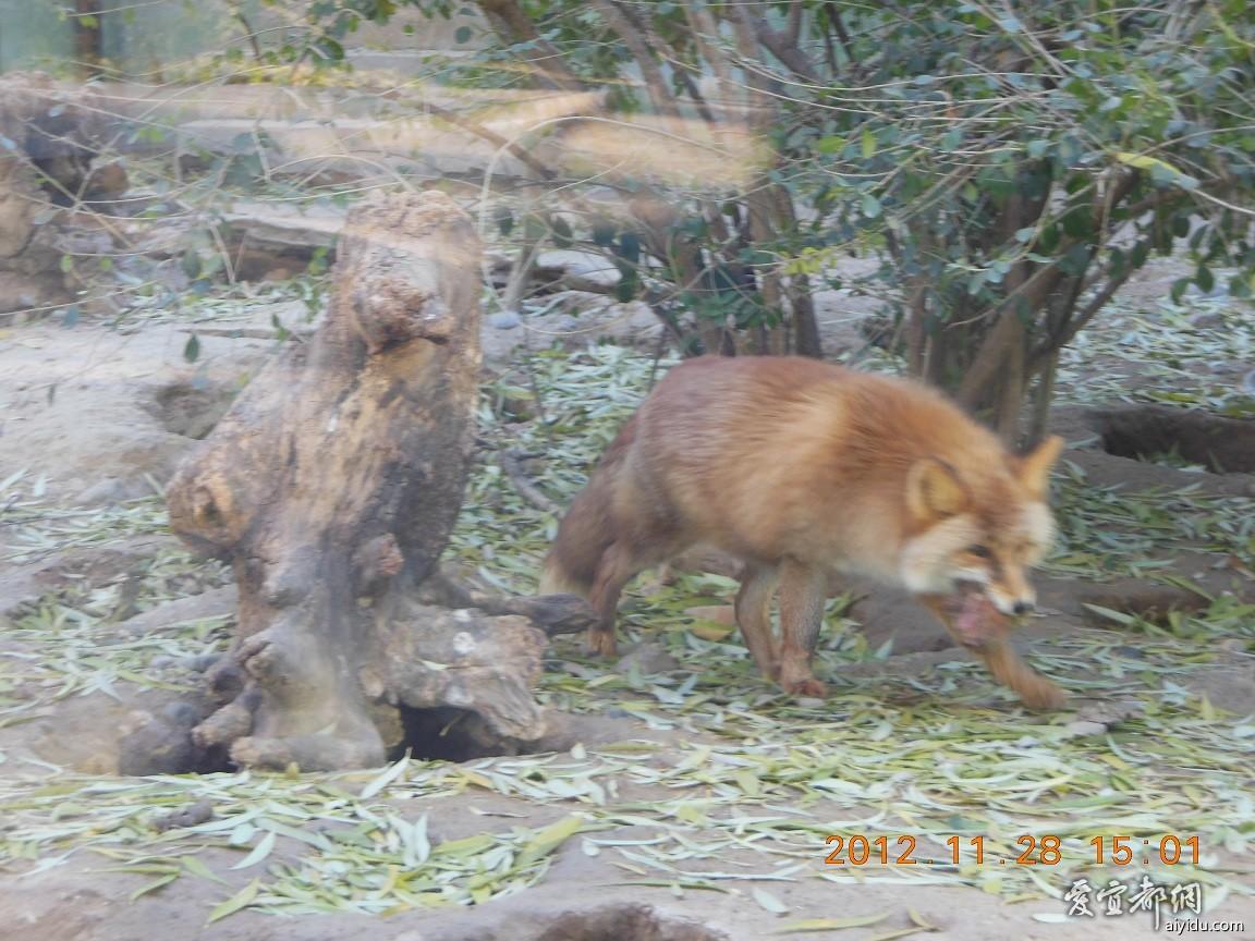 北京动物园——狐狸