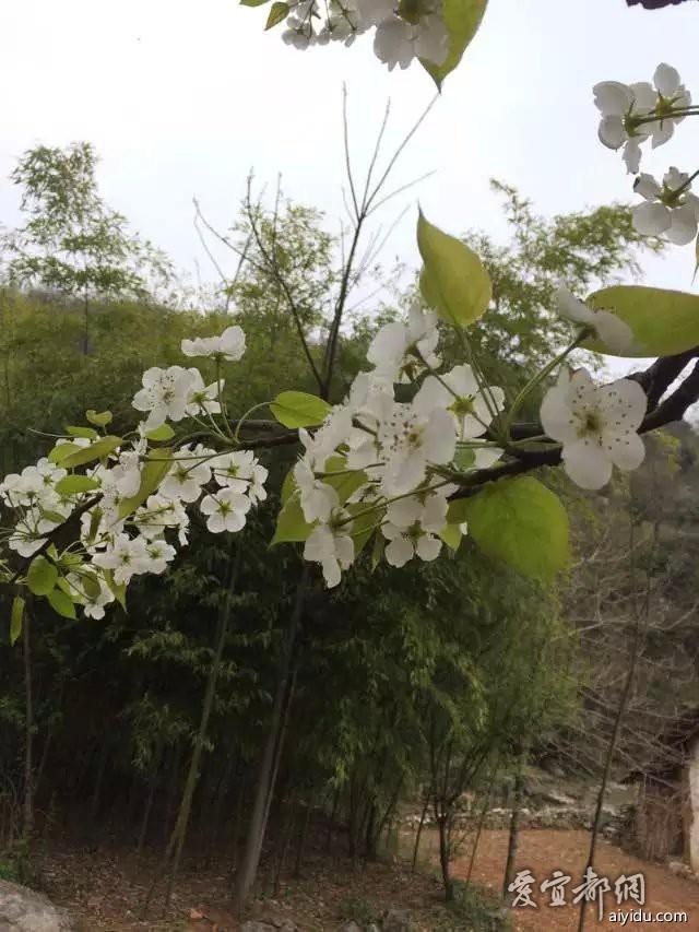 就是那棵长在田角的桃花树下,这块大大平坦的石板上,雪白的梨花树后