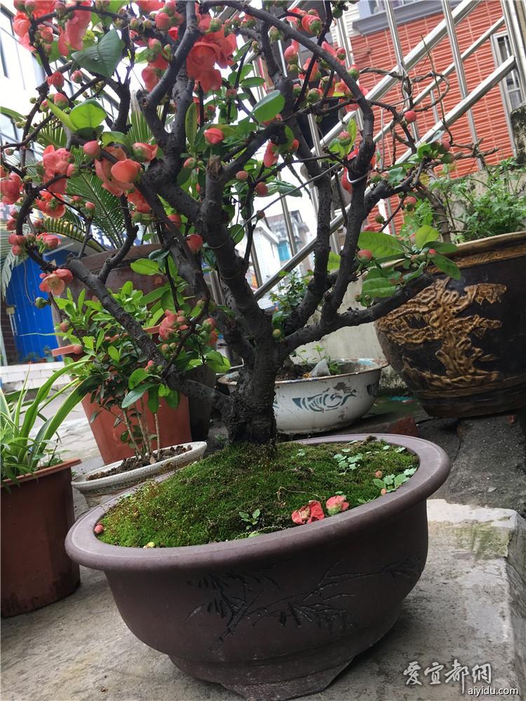 海棠花出售300元带盆