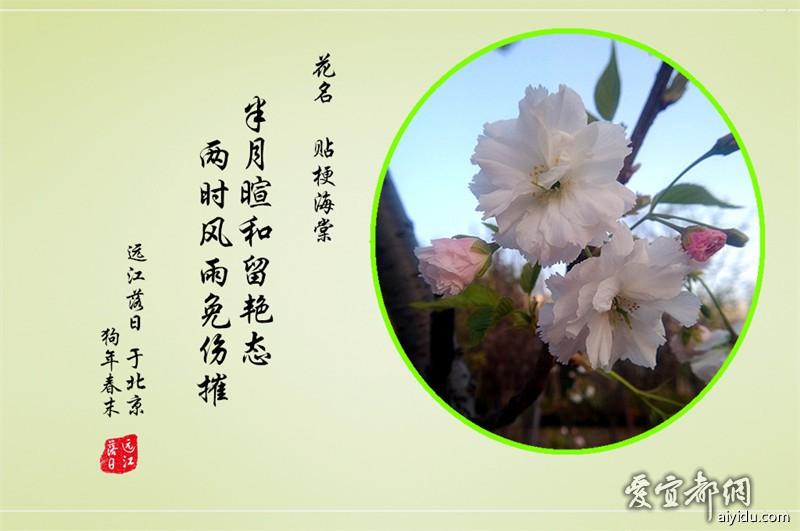 贴梗海棠  2.jpg
