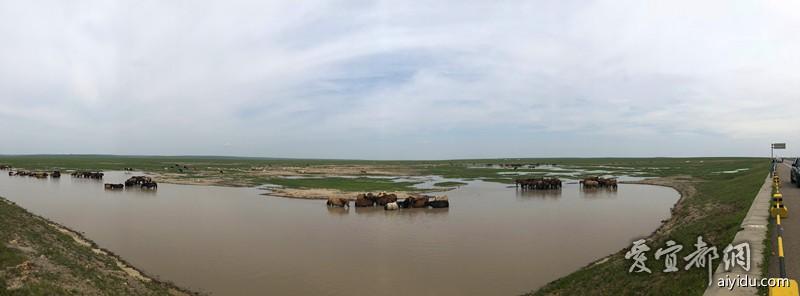 去往满洲里的海满一级路上很多马在洗澡