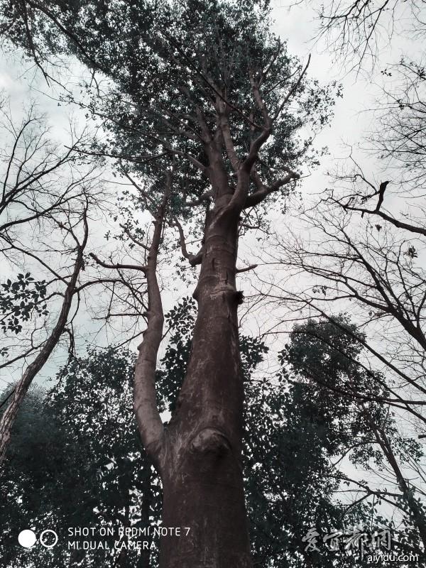 景观树-2
