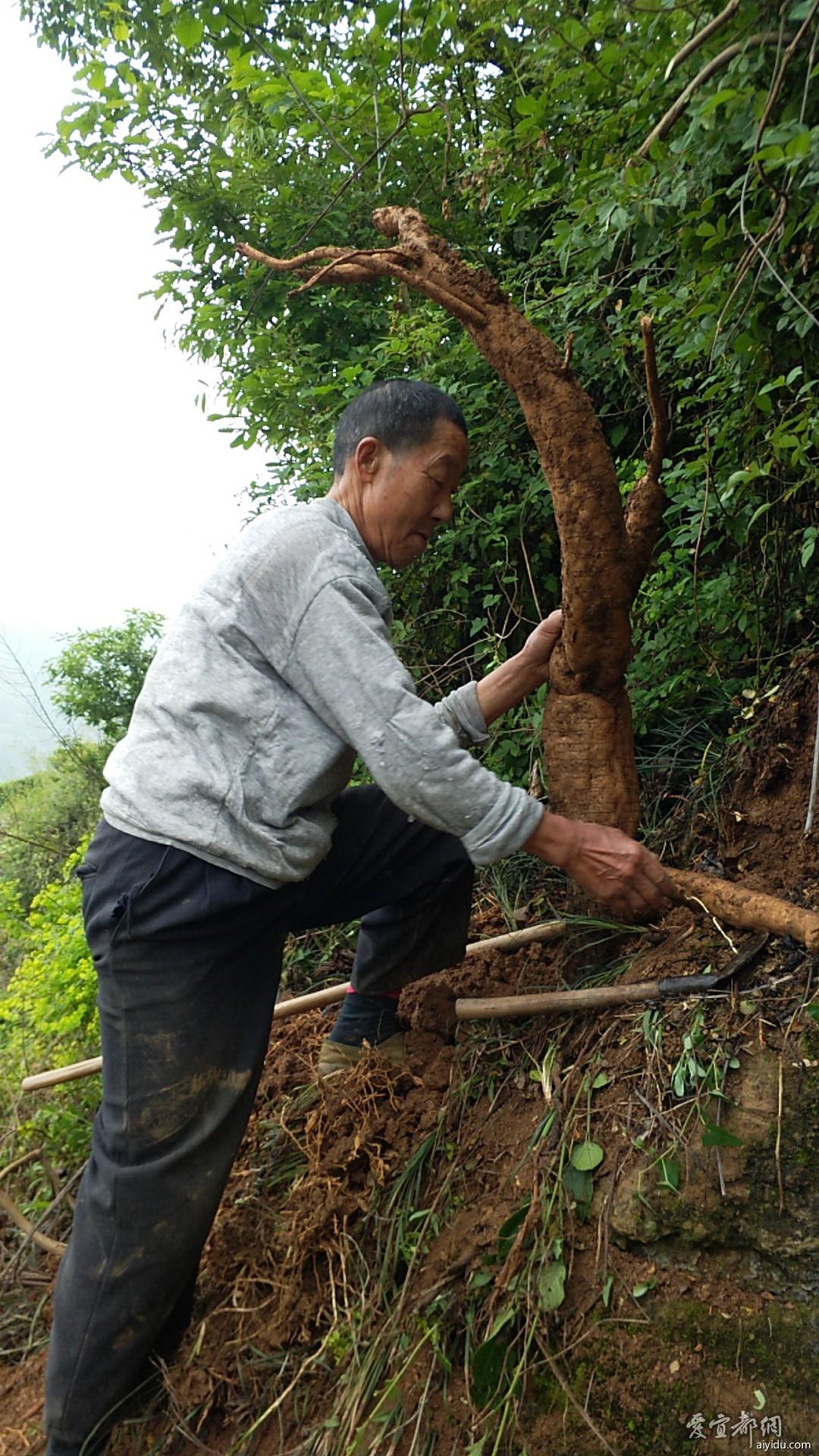 农户山上挖葛根