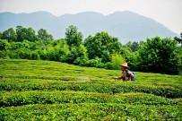绿油葱葱的茶山