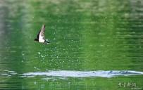 自由飞翔的小燕子