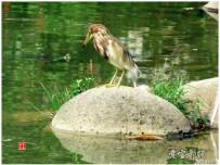 池鹭和鱼儿