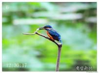 翠鸟吃鱼全过程