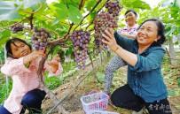 五峰山村葡萄园又到收获季