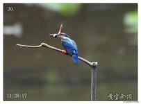 翠鸟吃泥鳅全程记录