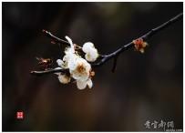 一树梅花一放翁