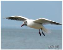 海鸥与野鸭