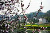 颤动在枝头的春天