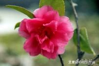 宜都之春:茶花集(原创摄影)