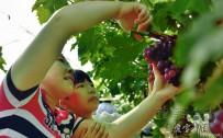 当夏天遇上葡萄,跟爱摄影一起看看咱宜都的葡萄到底有多美?