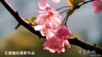 宜都之春:海棠花集(原创摄影)