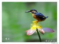 莲花上的翠鸟