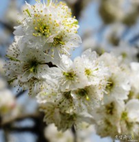 春天里樱花朵朵开