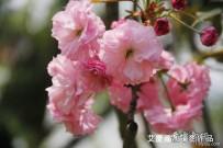 文峰公园迟开的重瓣樱花。。。拍在暮春
