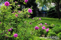 姹紫嫣红的月季玫瑰【原创摄影】