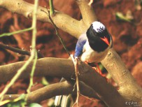红嘴蓝尾鹊
