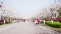 阳春三月文峰公园赏樱花