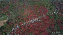 宜都发现大面积野生牛筋树群落