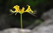 长在石头缝里的花