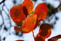 蟒山公园看红叶
