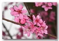 艳丽无比的紫叶碧桃花