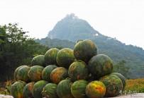 梁山西瓜的欢乐收获季