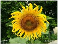 葵花朵朵向太陽