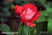 续姹紫嫣红的月季玫瑰花【原创摄影】