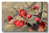 火红的海棠花