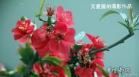 犹有花枝俏。。。红梅迎春