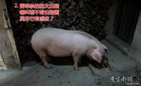乡村印象-杀年猪