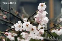 文峰公园的樱花【2】