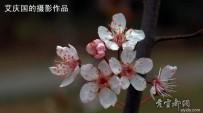 文峰公园的樱花【1】