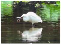白鹭吃泥鳅全程实录