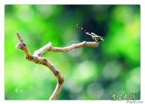 蜻   蜓