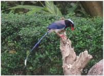 美丽的红嘴蓝鹊
