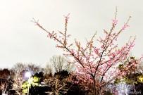 樱花第一弹