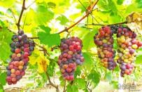 宜都枝城五峰山的葡萄熟了