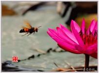 蜜蜂与睡莲