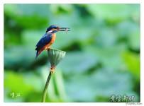 莲蓬上的翠鸟